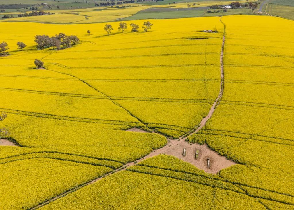 Biển vàng trong mùa cải dầu bội thu ở Australia Ảnh 8