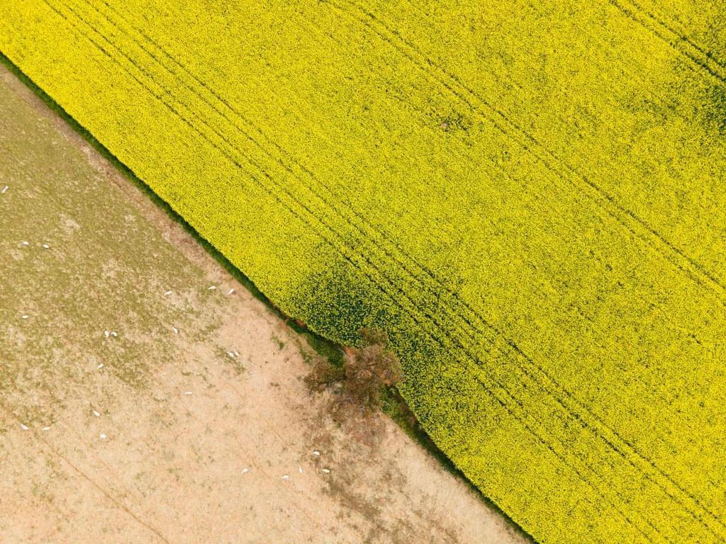 Biển vàng trong mùa cải dầu bội thu ở Australia Ảnh 6
