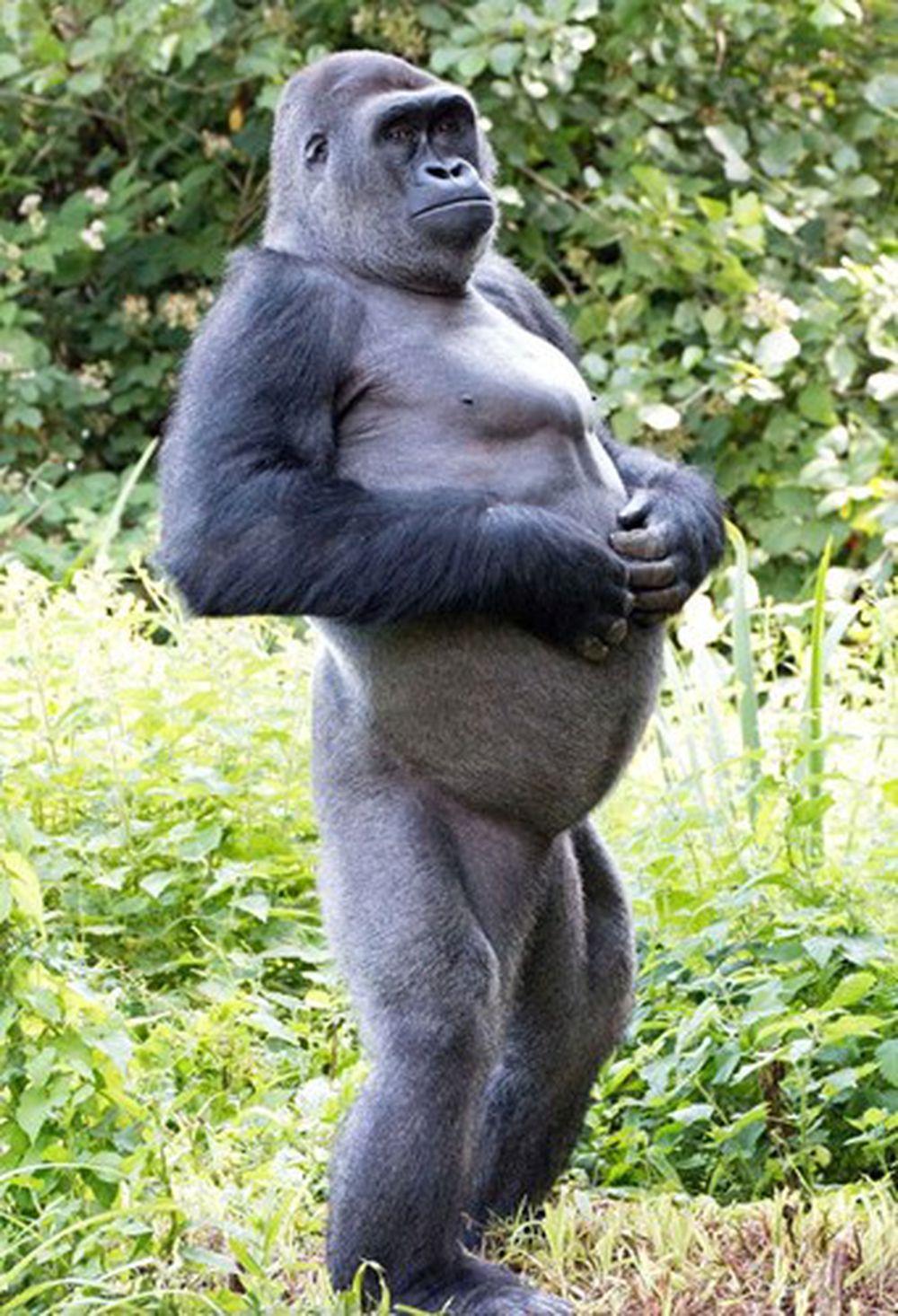 Tận hưởng một buổi chiều nhàn nhã, con khỉ đột đồng bằng đứng thẳng lưng, tay gãi bụng vô cùng thoải mái.