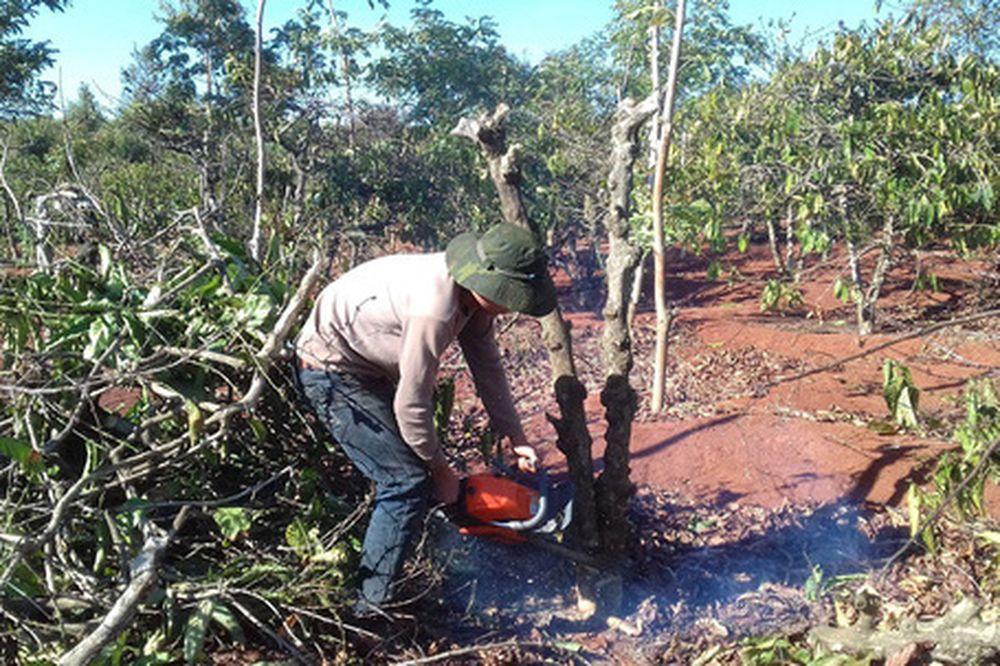 Nông dân chặt cây cà phê trồng chanh cho thương lái Trung