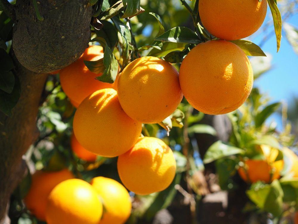 Kết quả hình ảnh cho kỹ thuật trồng cam v2 núi ba vì