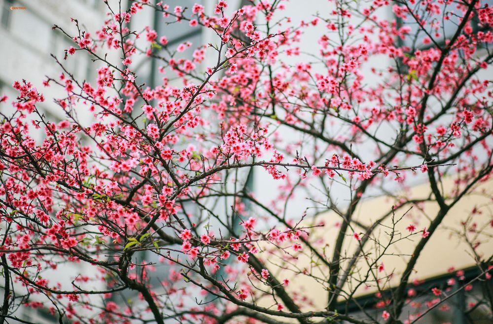 Những cây hoa anh đào này cao khoảng 3 - 3,5m, được chia ra trồng ở 4 góc  đẹp nhất trong khuôn viên địa chỉ 14 Thụy Khuê.