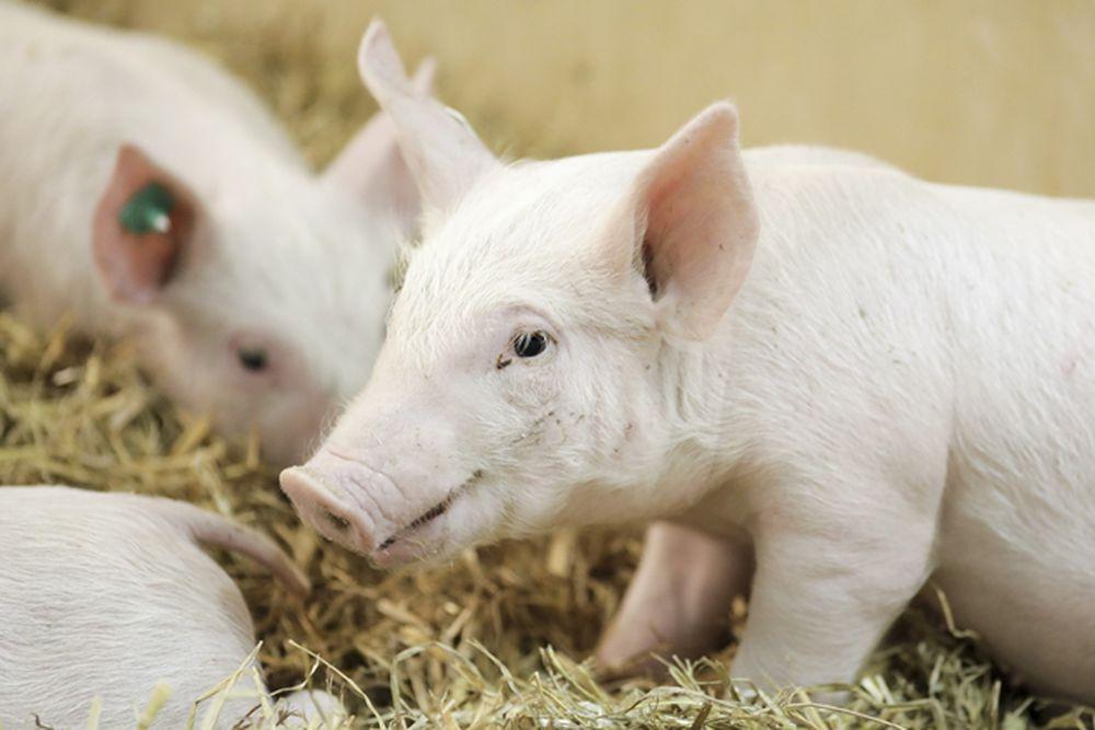 Theo các nghiên cứu, những phôi lợn đã được chỉnh sửa này được cấy vào 13 con  heo cái, 3 con đã mang thai và sinh ra 12 heo con.