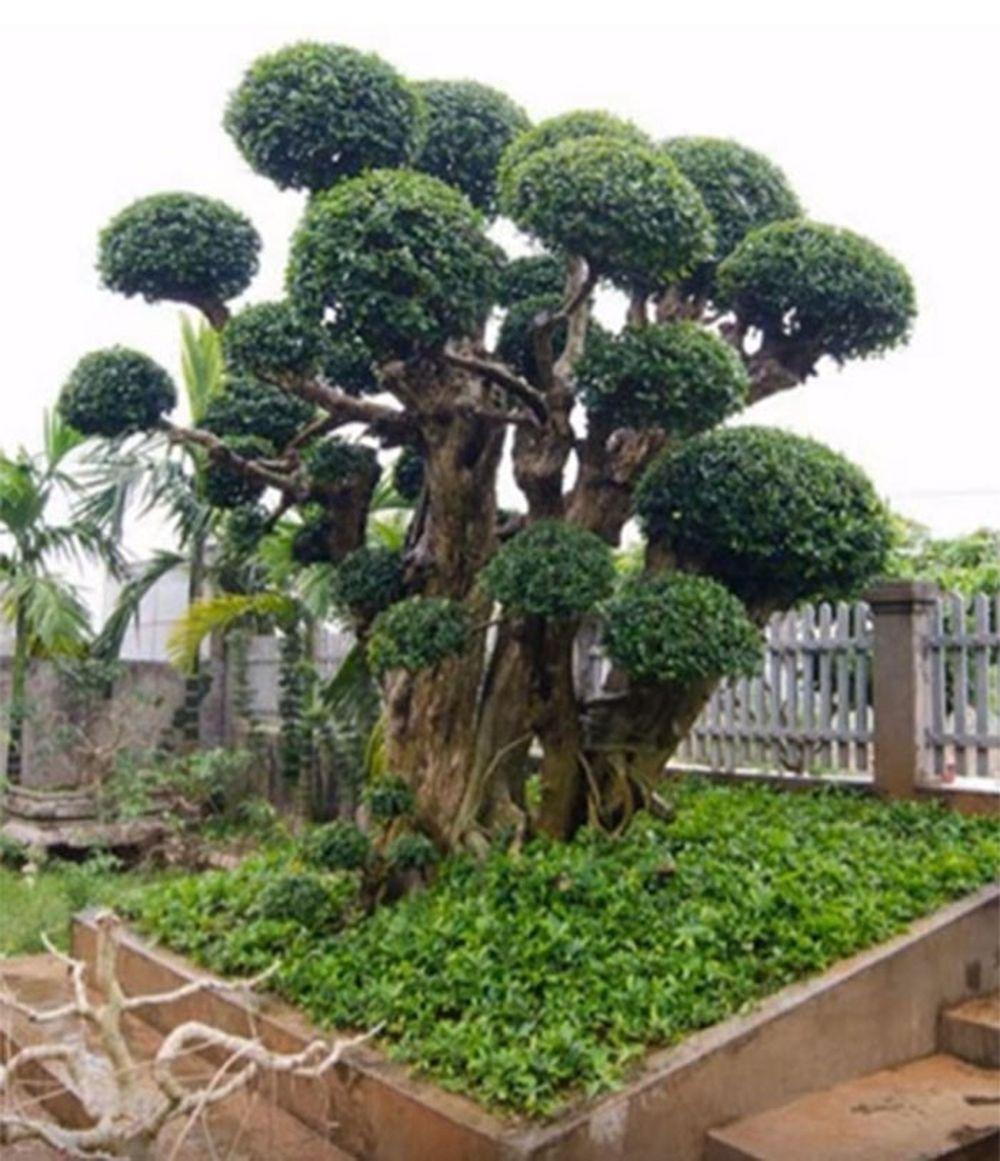 Kết quả hình ảnh cho cây duối bonsai