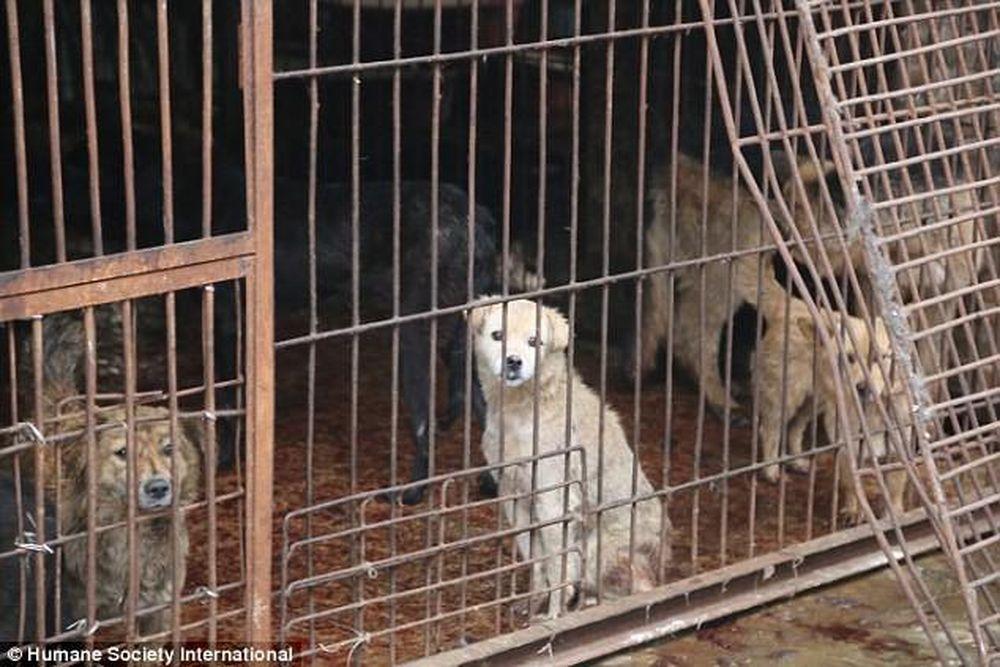 Những hình ảnh rợn người ở chợ thịt 300 con chó/ngày - Báo Kiến Thức