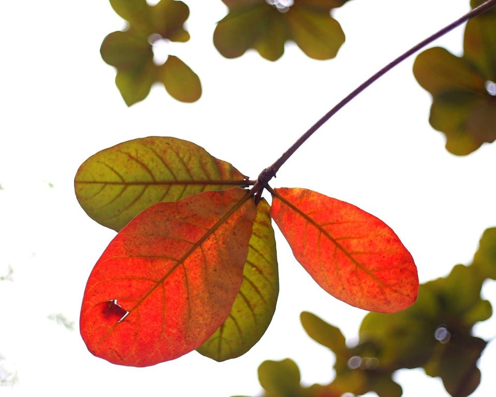 Image result for lá bàng , xóm