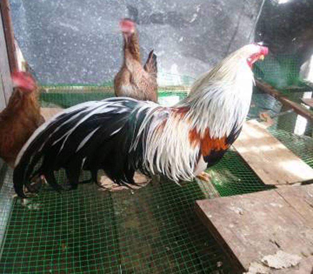 Dáng \u0027chuẩn men\u0027 của gà tre Tân Châu luôn được dân chơi gà kiểng săn lùng vào dịp Tết. Ảnh: Internet