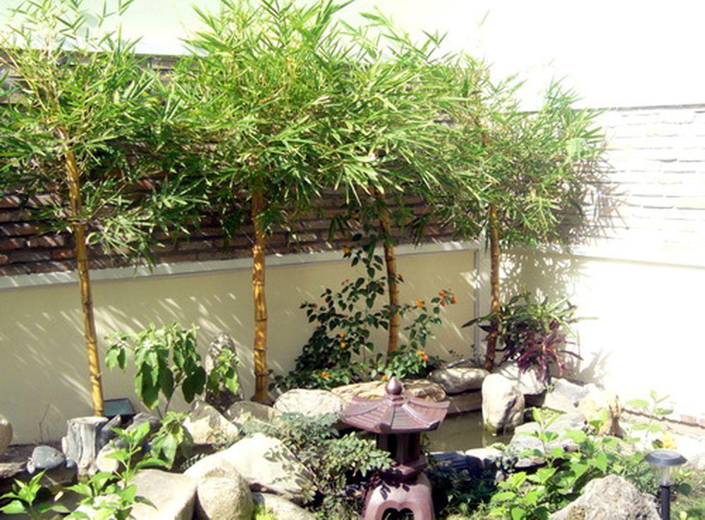 Kết quả hình ảnh cho cây tre cảnh trong nhà