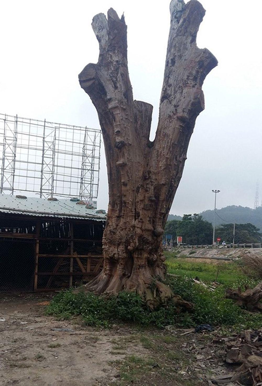 Cây nu hương đỏ hàng ngàn năm tuổi ở Đắk Lắk được ngã giá triệu đô (Ảnh: VietnamNet)