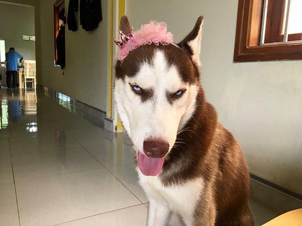 Image result for sự thật về loài chó ngáo nhất thế giới Husky