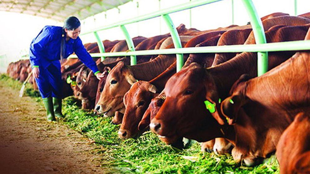 Triển vọng từ mô hình chăn nuôi bò thịt ứng dụng công nghệ cao ...