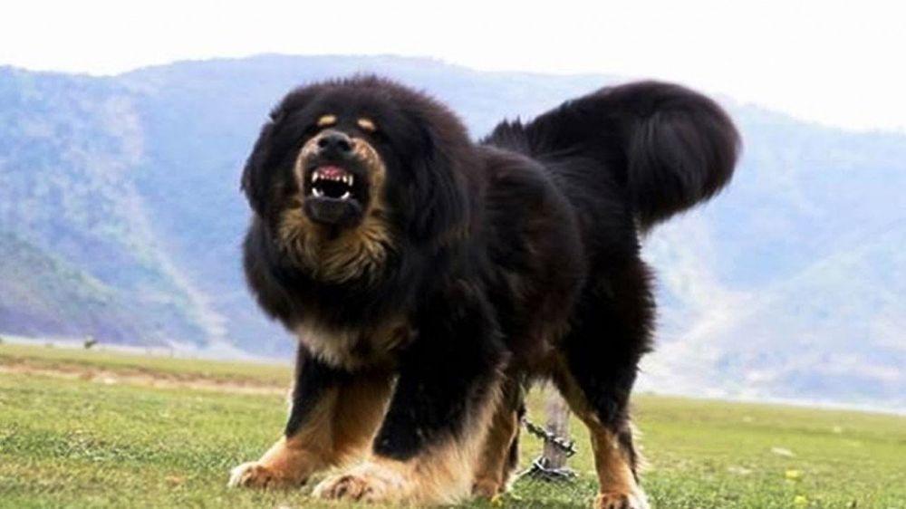 Ngao Tây Tạng Loài Chó Trung Thành Bậc Nhất Nhưng Có Bản Tính Hung