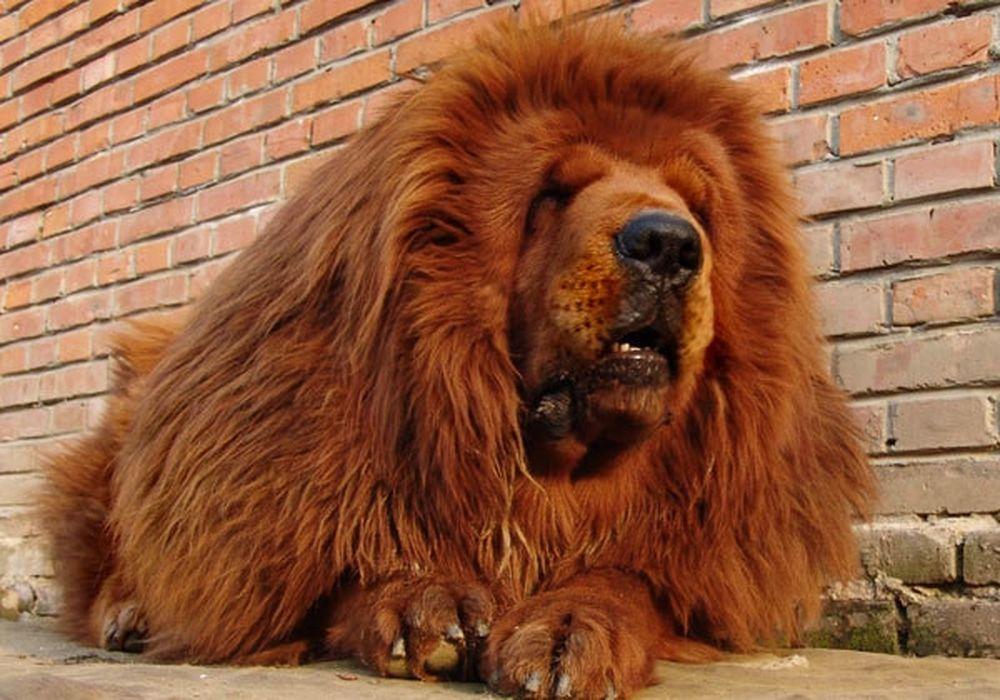 Khám Phá Sửng Sốt ít Ai Ngờ Về Chó Ngao Tây Tạng Báo Kiến Thức
