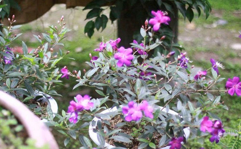 Kết quả hình ảnh cho cây hoa sim