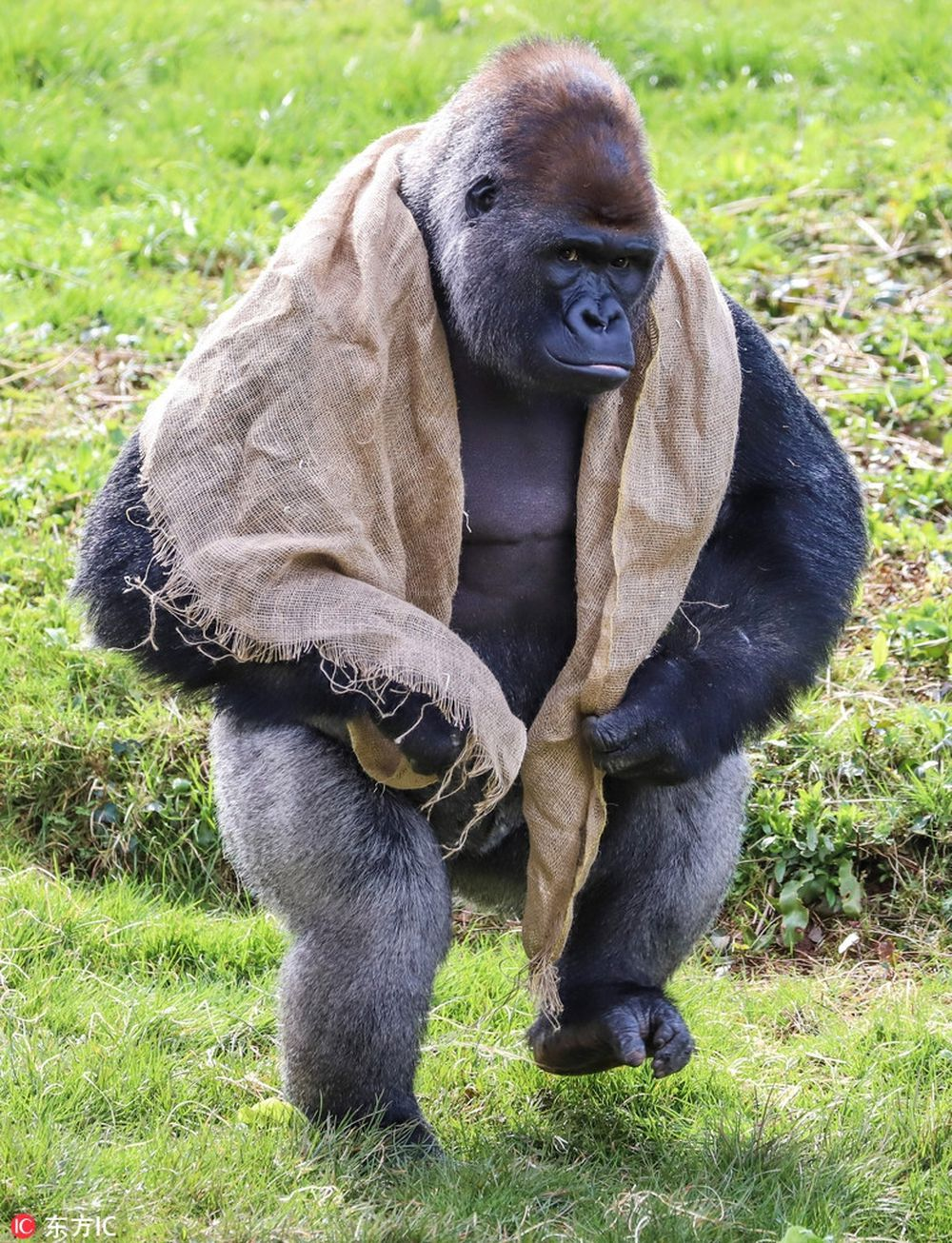 Các nhân viên trong sở thú thì cho biết, N\u0027Dowe là một con khỉ đột khổng lồ có vẻ ngoài trông khá ngầu, đáng sợ, nhưng sự thực, N\u0027Dowe là một ...