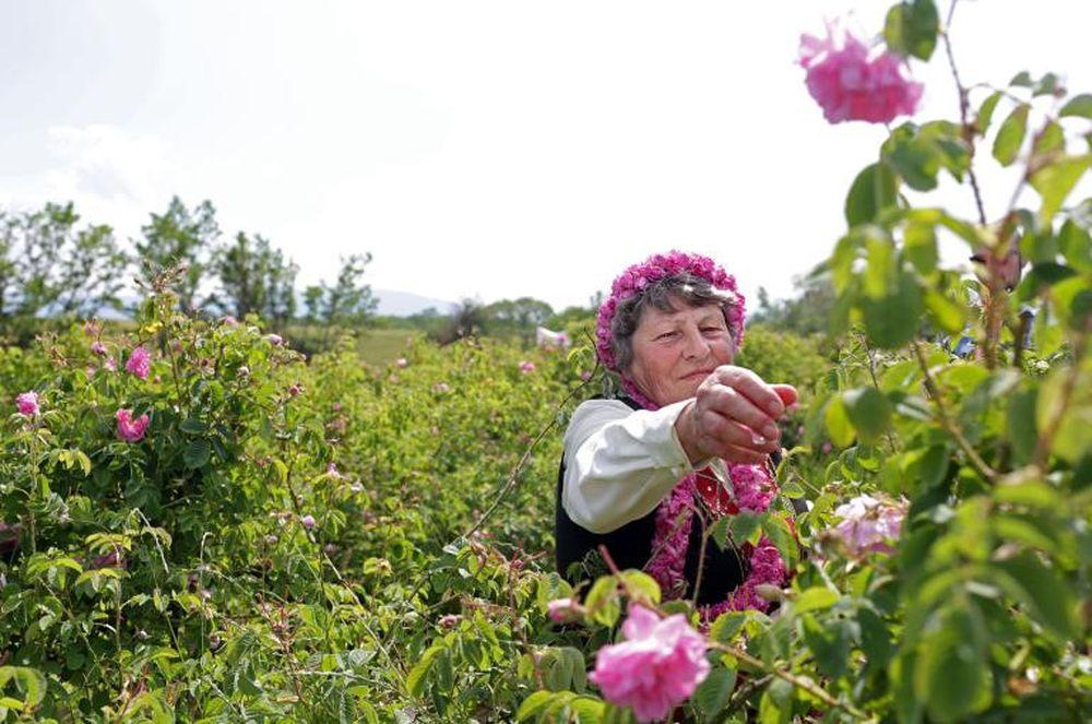 Thung lũng hoa hồng thơ mộng giữa núi đồi Bulgaria - Tạp Chí