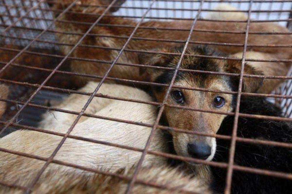 Đôi mắt ám ảnh của những chú chó trước khi bị giết thịt - Báo Kiến Thức