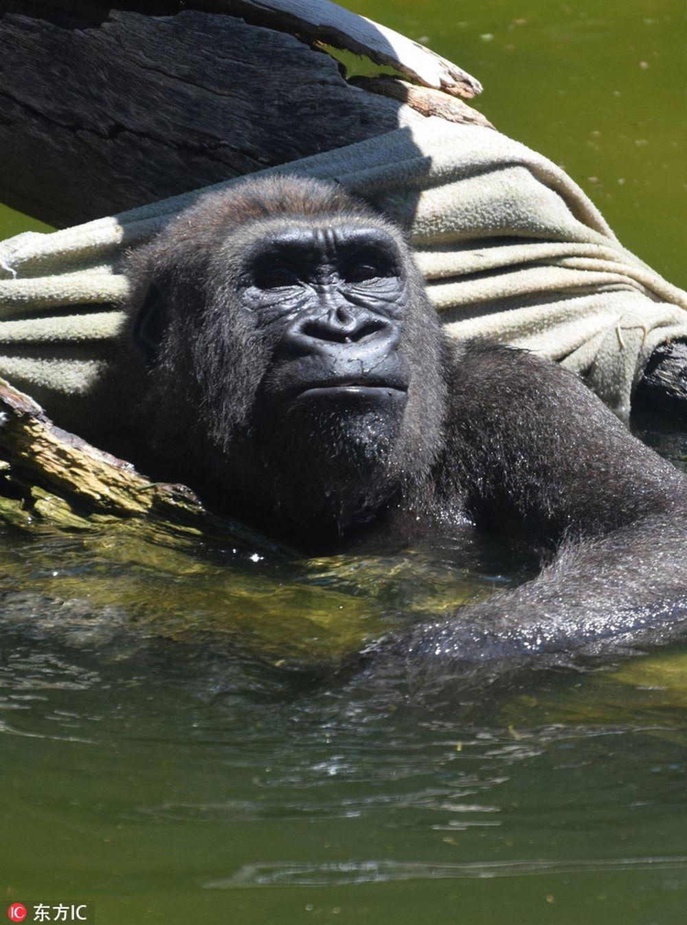 ... hình ảnh rất thú vị và hài hước khi một con khỉ đột đáng yêu tận hưởng thời gian tắm mát của mình một cách đầy vui vẻ và thoải mái hệt như con người.
