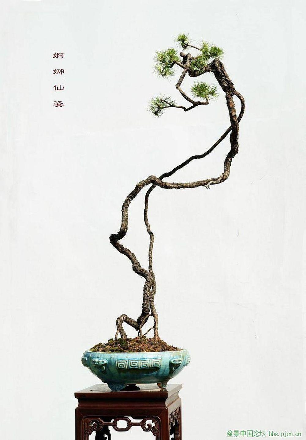 đẹp Hut Mắt Loạt Bonsai Dang Văn Nhan đầy Nghệ Thuật Bao