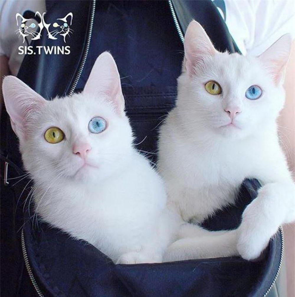Nhiều người hâm mộ tin rằng Iriss và Abyss thuộc giống mèo Angora hoặc Thổ Nhĩ Kỳ thuần chủng nhưng kỳ thực, chúng là con lai của một con mèo nhà màu ...