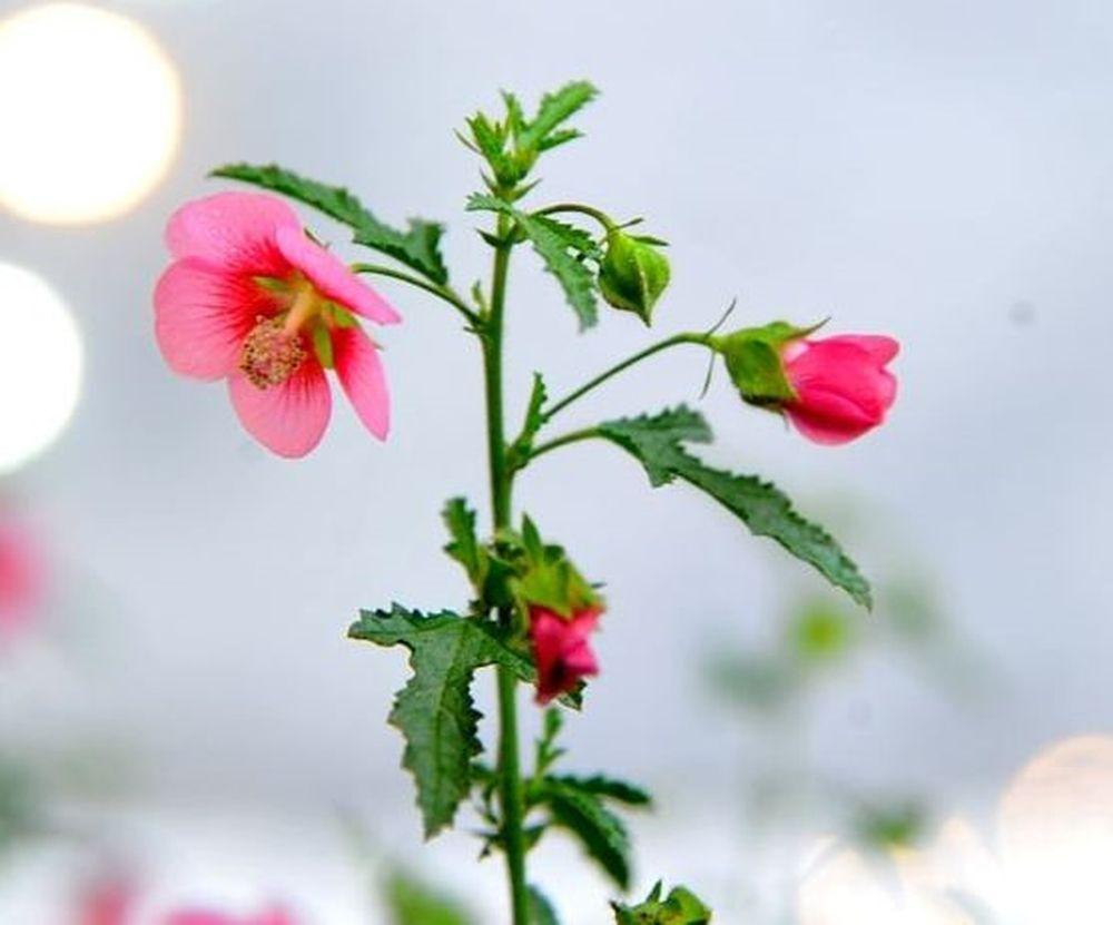 Cẩm quỳ thân gỗ còn ra hoa quanh năm , rất phù hợp để trưng bày trong nhà, ngoài sân, trang trí nhà cửa. Ảnh: marketonline.
