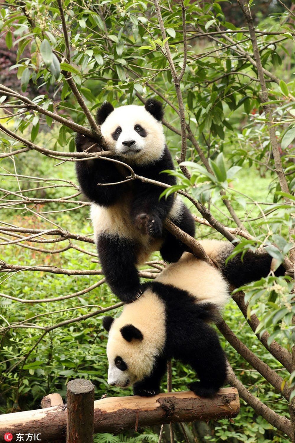 Trong ảnh là khoảnh khắc hai con gấu trúc vị thành niên nghịch ngợm, leo trèo trên cây. Chúng bẩm sinh đã dễ thương nên rất được mọi người yêu thích.