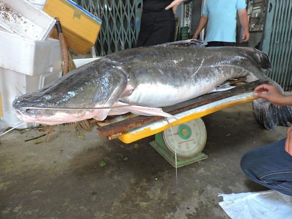 Cá lăng đuôi đỏ