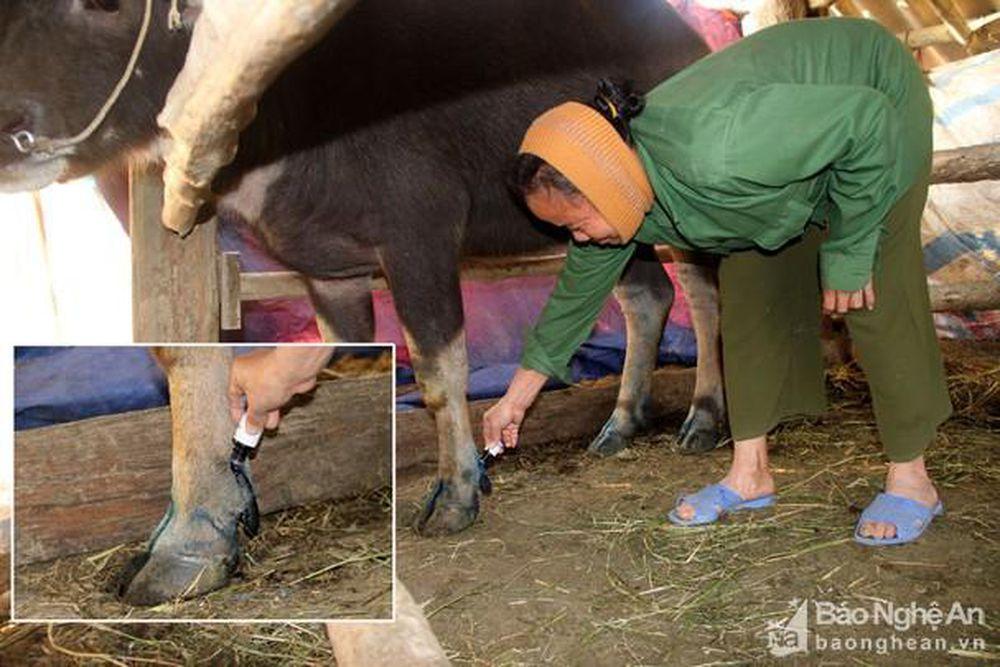 Công điện khẩn số 19/CĐ-UBND  của UBND tỉnh về việc tập trung triển khai quyết liệt các biện pháp phòng, chống bệnh lở mồm, long móng ở gia súc.