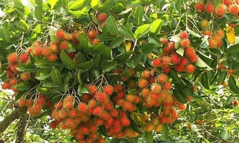 Ngắm vườn chôm chôm Việt lần đầu xuất khẩu sang New Zealand - Báo ...