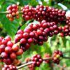 Giá cà phê hôm nay 20/11 không biến động, giá cà phê trong nước giao dịch ở mức thấp.
