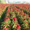 Làng hoa lớn nhất Sài Gòn nguy cơ biến mất do đô thị hóa