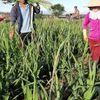 Hoa Tết: Chua chát vì lay ơn rớt giá thảm, nhà vườn lỗ... chổng vó