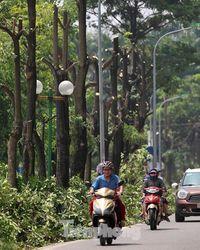 Nắng 'vỡ đầu' trên con đường hàng trăm cây hoa sữa bị chặt hạ ở Hà Nội