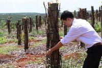 'Vận đen' của hồ tiêu: Chết trơ trụi, nông dân nợ chồng chất