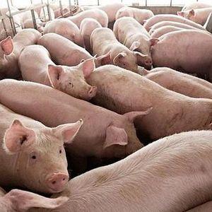 Ngày mai, giá lợn hơi sẽ giảm mạnh