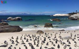 Chùm ảnh: Vẻ đáng yêu của những chú chim cánh cụt Nam Phi