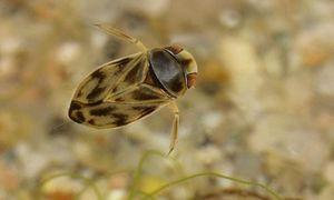 Bất ngờ thú vị về loài bọ nước 'to mồm' nhất