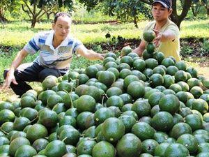 Người dân Đắk Nông đua nhau trồng bơ booth khiến quy hoạch bị phá vỡ