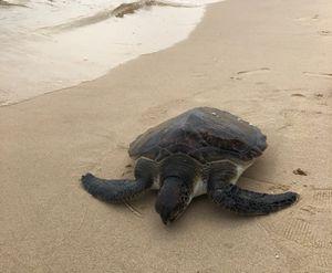 Rùa quý lạc vào bờ biển đã được thả về tự nhiên