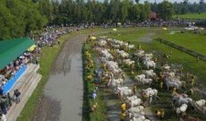 Lễ hội đua bò Bảy Núi An Giang: Gay cấn và quyết liệt