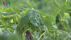 Trồng sắn bằng giống trôi nổi, nông dân đối mặt bệnh chưa có thuốc trị