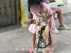 Cô bé 9 tuổi hàng ngày dẫn hổ đi chơi