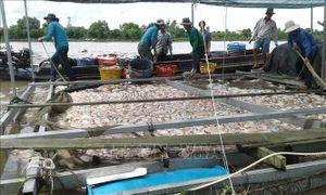 Hơn 160 tấn cá bè chết chưa rõ nguyên nhân tại Tiền Giang