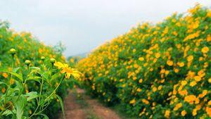 Đến Đà Lạt mùa hoa dã quỳ