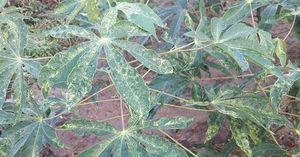 Phòng chống bệnh khảm lá trên cây mì