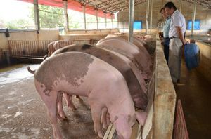 Hà Nội tích cực phòng chống dịch tả lợn Châu Phi
