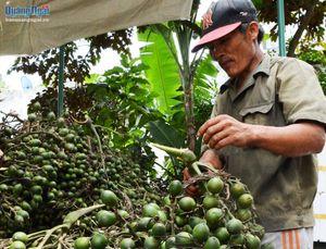 Sơn Tây: Đưa cây cau vào cây trồng chủ lực