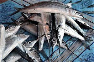 Thương lái thu mua cá lìm kìm với giá cao bất thường
