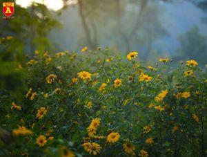 Hoa dã quỳ đang lấn át mọi vẻ đẹp khác ở Vườn quốc gia Ba Vì