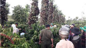 Hơn 700 gốc tiêu sắp thu hoạch bị kẻ gian phá hoại, thiệt hại hàng trăm triệu đồng